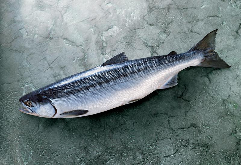 Head-on Alaska Sockeye Salmon