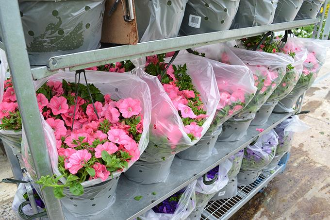 Pink hanging flower baskets
