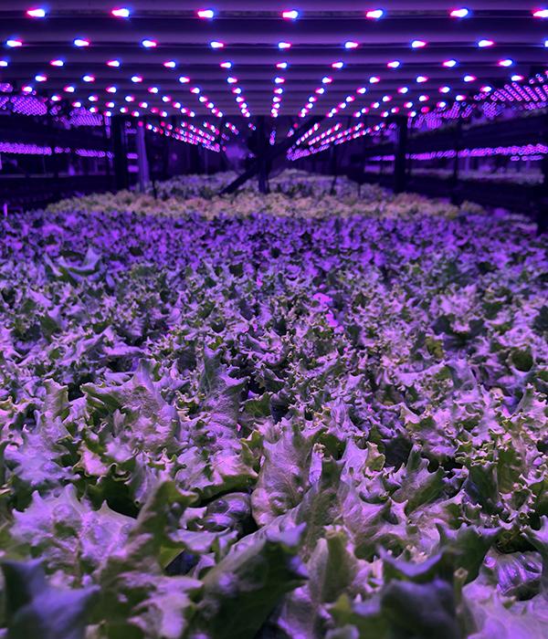 Buckeye Fresh Lettuce