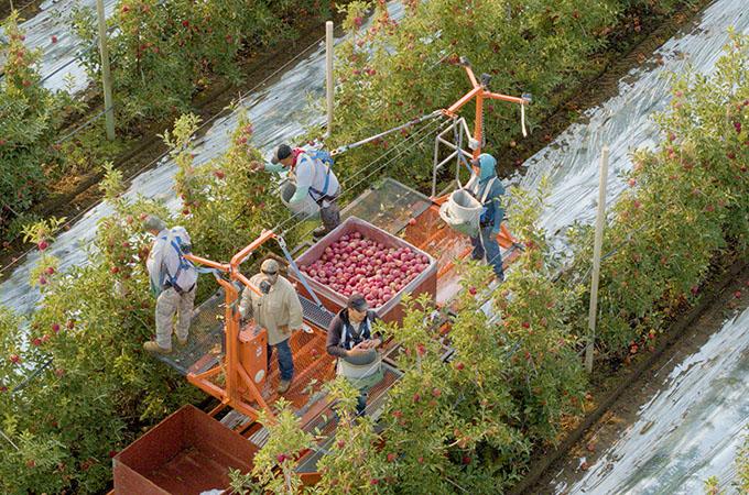 Stemilt Team Picking Apples