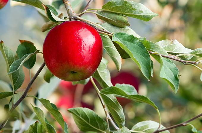 Rave Apple on Tree