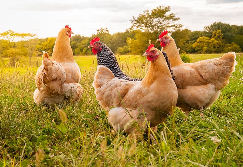 Smart Chicken in Field