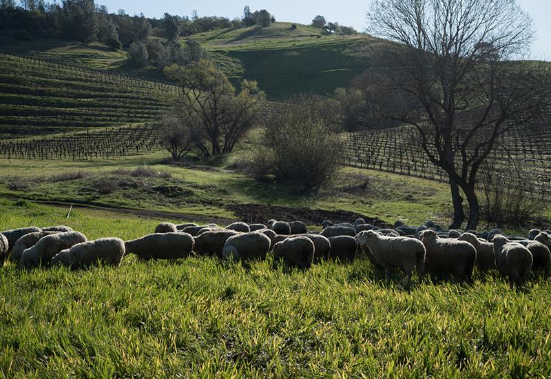 Farmer's Mark Lamb
