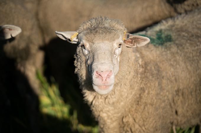Farmer's Mark Live Lamb in Herd