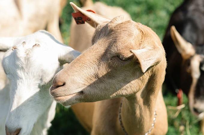 Mackenzie Creamery Goats