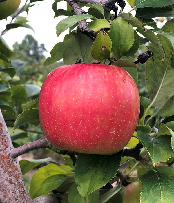 Local Apple on Tree