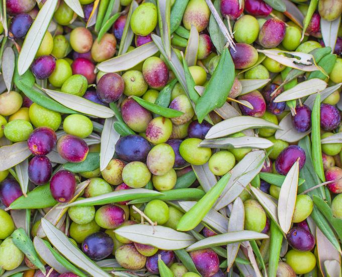 Pile of Freshly Picked Olives